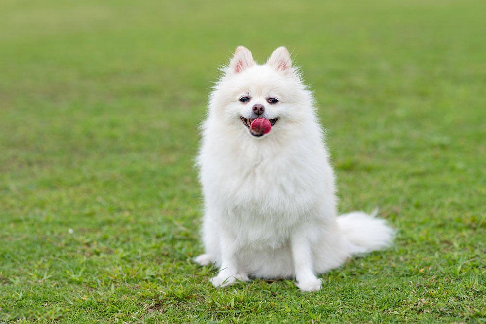 Pomeranian Dog White